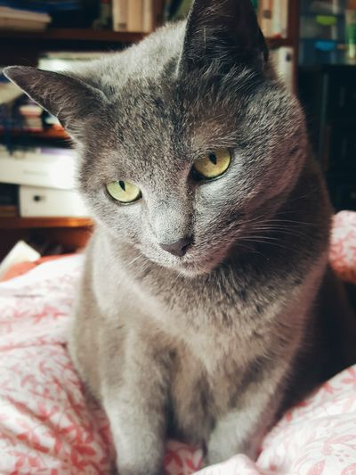 She's always posing 😸 Pets Domestic Cat Domestic Animals Mammal Animal Themes One Animal Feline Indoors  Cat Close-up No People Portrait Day Green Eyes Grey Cat Cute Pets Corner Purr Whiskers Bedroom