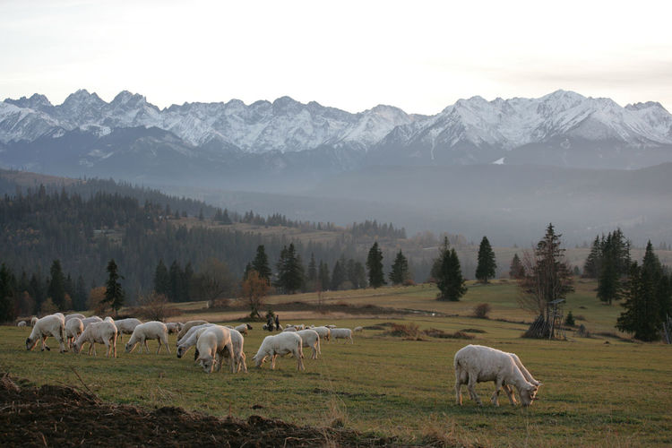 Horses grazing in a mountains