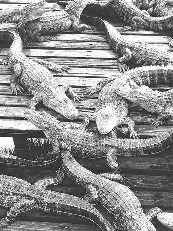 Alligators Little Ones Full Frame Backgrounds Textured  Detail Outdoors Day Heap No People