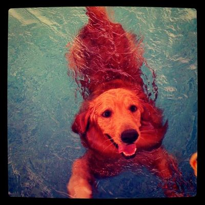 Can swim all day Dog Swim Goldenretriever Petstagram Hoykong Dogslife Dogmolester Instagramgoldens IPhoneography