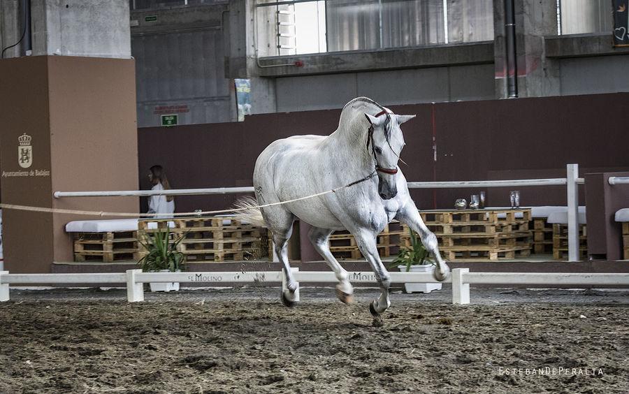 Dressage Horses White Horse White Horse Portrait Animal Animal Themes Horse Movement