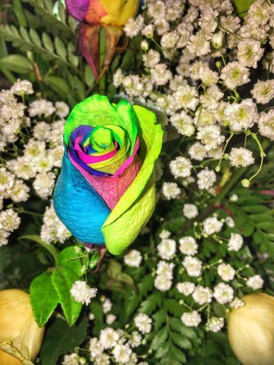 What A Beautiful Rainbow Rose. Pride Gayrose RainbowRose Simplyperfect Loveislove MyFamilyAcceptsMe Lovehasnoboundaries AcceptMeForMe Livelifehappy Livelifetothefullest Livelife4u First Eyeem Photo