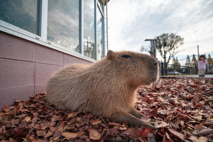 Capybara One Animal Animal Themes Animal Plant Part Mammal Autumn Leaf Day Nature Vertebrate Animal Wildlife Outdoors Change No People Rodent Brown Tree Pets Built Structure Architecture Leaves