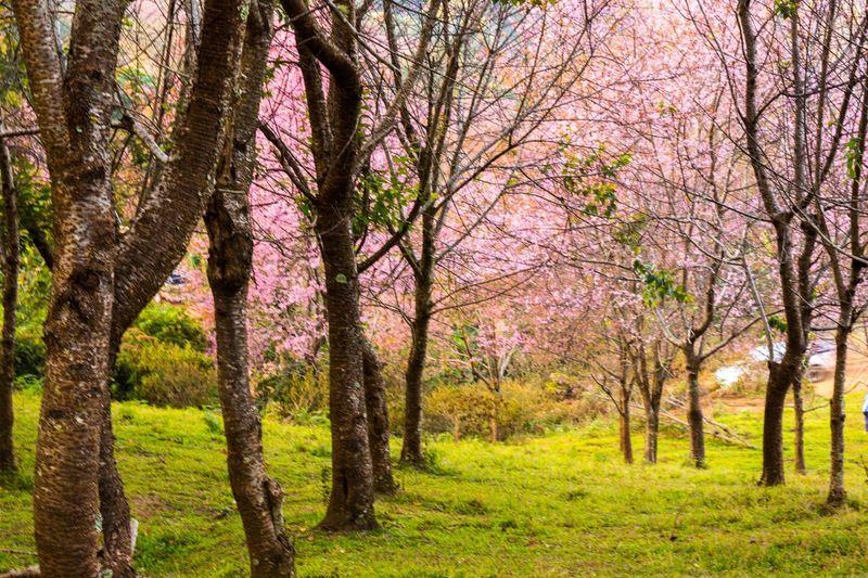 Unseenthailand at Phulomlo Follow IG : birdpheon Tree Nature Beauty In Nature Pink Flowers Freshair Phitsanulok Phulomlo Phuhin Rongkla Thailand Unseenthailand Wintertime