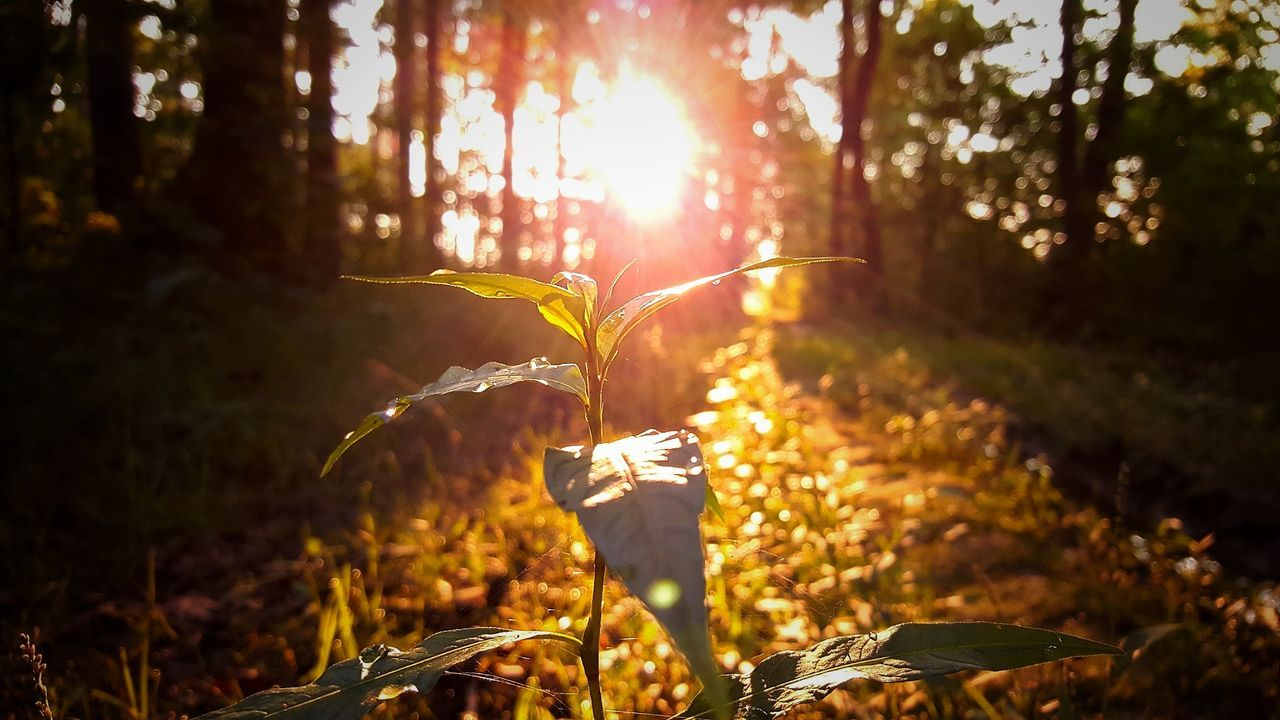 plant, nature, tree, land, growth, sunlight, forest, beauty in nature, day, focus on foreground, tranquility, outdoors, field, lens flare, fragility, woodland, leaf, real people, close-up, bright