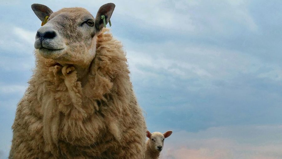 Low angle view of sheep against cloudy sky