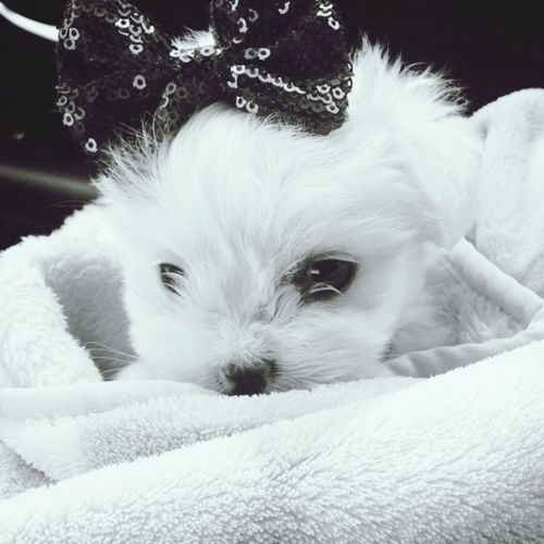 Harley when she was just 2months old Puppy Maltese Fluffy