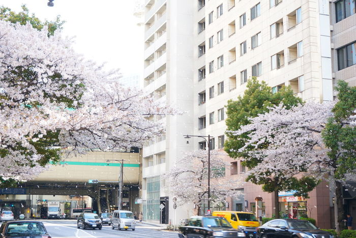 2016/04/06桜吹雪 Shower Of Cherry Blossom Sakura Cherry Blossoms Cherry Blossom 桜 サクラ Flowers Japanese Culture Landscape_Collection Spring City Life City Street Cityscapes Cityscape City City Landscape Hanging Out Streetphotography Street Photography Streetat Tokyo, Japan
