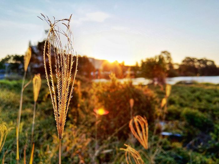close up shot Grass Dry Drygrass Sunset EyeEmNewHere EyeEm Gallery EyeEm Nature Lover Nokia7plus Nokia  Agriculture Rural Scene Sunset Field Sky Close-up Plant Grass Area Blade Of Grass Dried Plant Reed - Grass Family