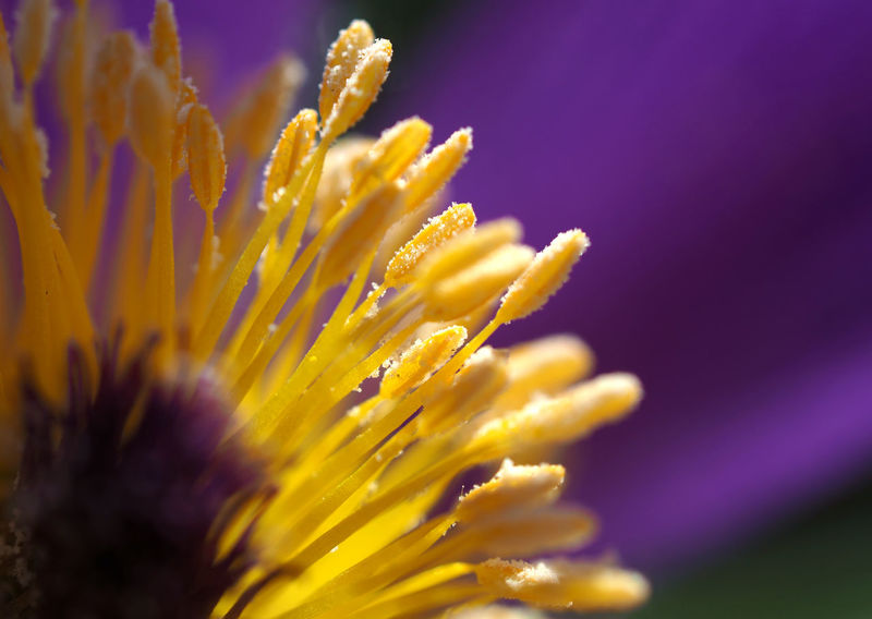 Beauty In Nature Close-up Common Pasque Flower Day Flower Flower Head Fragility Freshness Gardening Growth Kuhschelle Macro Photography Nature No People Olympus OM-D E-M1 Mark II Outdoors Pasque Flower Petal Plant Pollen Pulsatilla Vulgaris Purple Springtime Sunlight And Shadow Yellow Color