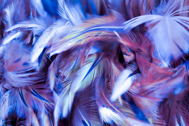 Colorful bird and chicken feathers in soft and blur style for the background Backgrounds Full Frame Motion Pattern Close-up Abstract Blue Feather  No People Softness Nature Vertebrate Textured  Animal Themes Animal Abundance Abstract Backgrounds Bird Blurred Motion Outdoors Purple