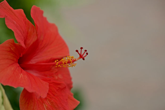 Rosa-sinensis Daytime Beauty In Nature Close Up Copyspace Flower Head Hibiscus Flower No People, Red Color Rosa Sinensis