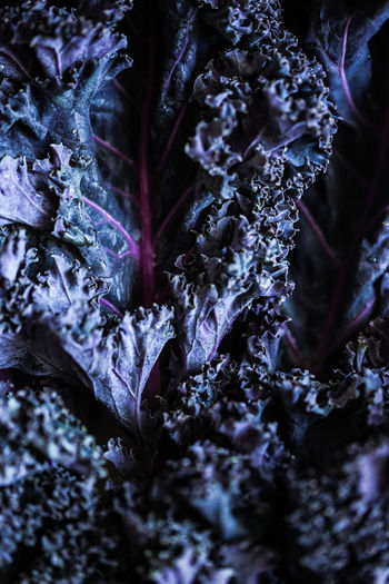 Curly kale Kale Veggies Vegetable Brassica Oleracea Brassica Oleracea Var. Sabellica Curly Kale Cabbage Plant Part Leaf Close-up Nature No People Beauty In Nature Full Frame Backgrounds Winter Botany Purple Leaves Cold Temperature Selective Focus Day