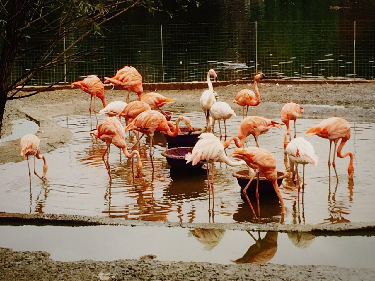 flamingo, animal themes, bird, animals in the wild, nature, large group of animals, animal wildlife, no people, water, day, outdoors, flock of birds, beauty in nature