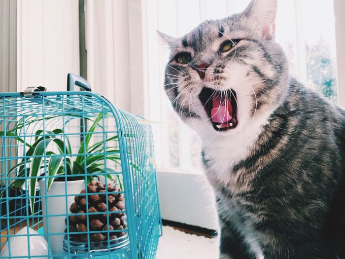 Cat yawning by cage on window sill at home