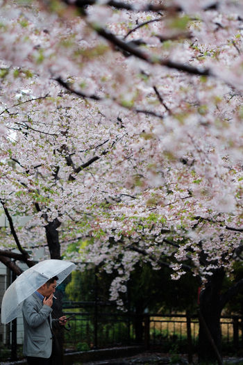 Spring. Adult Adults Only Beauty In Nature Blossom Branch Cherry Blossom Cherry Tree Day Flower Freshness Men Nature One Man Only One Person Only Men Outdoors People Springtime Tree Young Adult