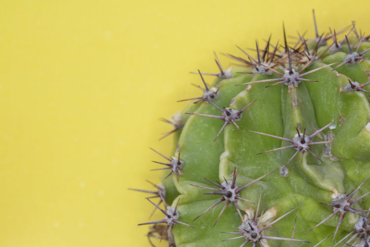 Close-up of cactus growing against yellow wall