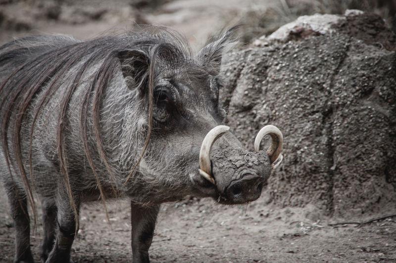 Wild boar with fur