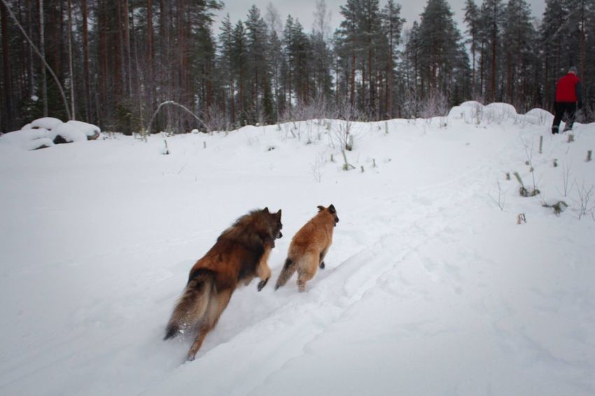 EyeEm Ready   Beauty In Nature Snow Winter Animal Themes Dog Cold Temperature Weather Pets Outdoors Beauty In Nature Snow ❄ Landscape Tervueren Belgian Shepherd Lapland Forest Go Higher The Traveler - 2018 EyeEm Awards