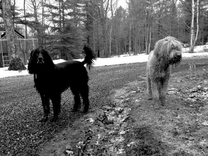 Goldendoodle and cocker spaniel on field during winter