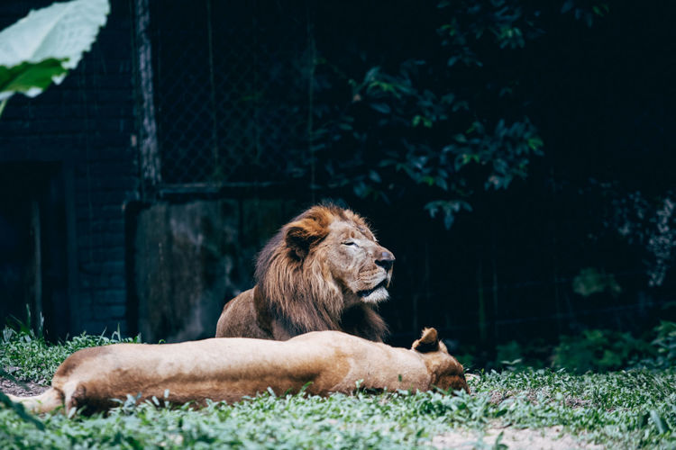 Lion lying on ground in zoo