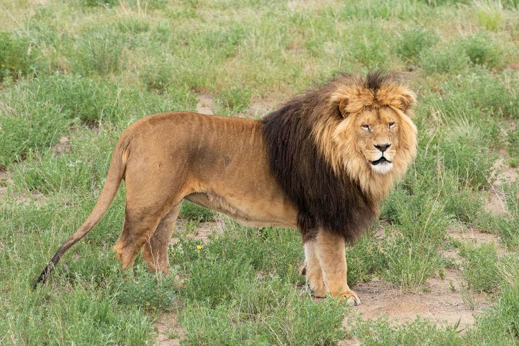 Lion Animal Animal Themes Animal Wildlife Feline Full Length Grass Lion - Feline Lions Male Animal Mammal No People One Animal Sanctuary