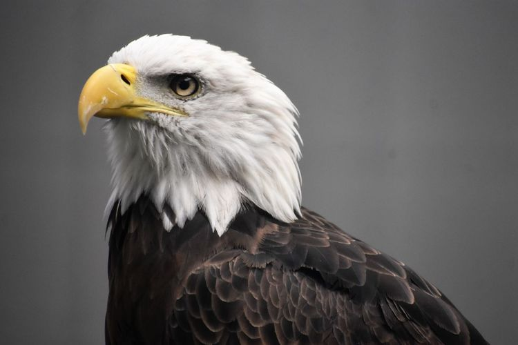 Close-up of bald eagle against blurred background