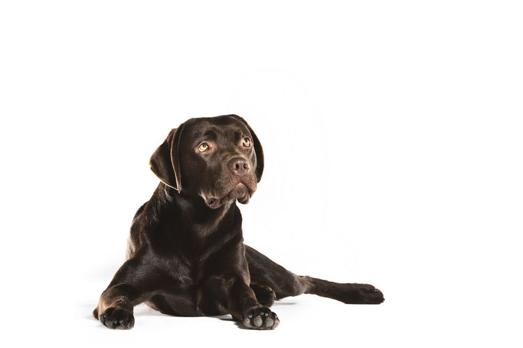 Black dog looking away against white background