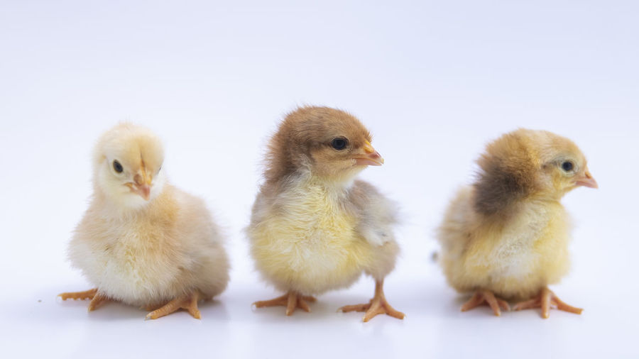 Bushveld chicks Livestock Poltry Product Photography Bird Young Animal Agriculture White Background Young Bird Chicken - Bird Baby Chicken Close-up Poultry