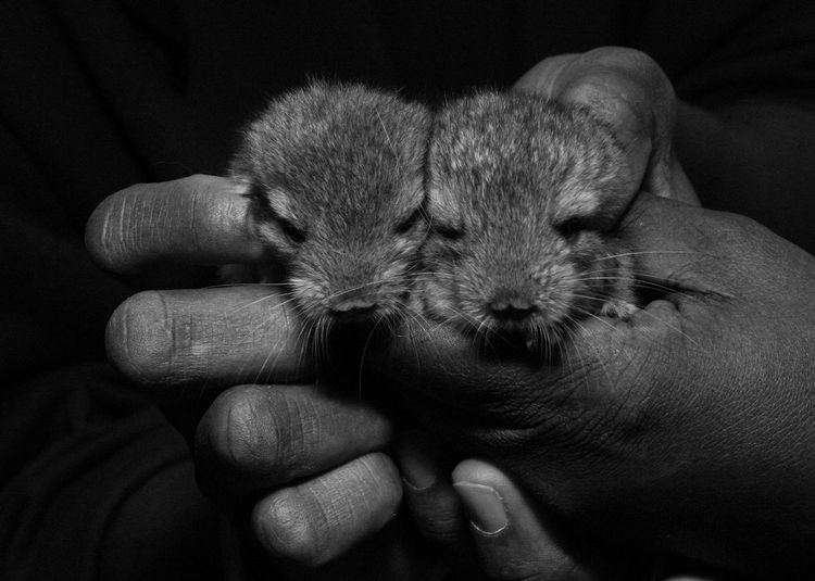 Fingers Animal Themes Baby Chinchillas Blackandwhite Domestic Animals Holding Animals Pets Monochrome Photography Pet Portraits Mammal Human Body Part Holding Hand Close-up Young Animal Cute One Person Body Part Finger Care Black Background Pet Owner Human Hand
