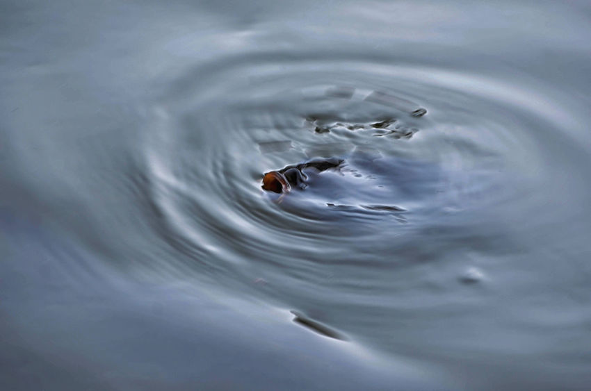 Animal Animal Themes Animal Wildlife Animals In The Wild Backgrounds Close-up Concentric Full Frame High Angle View Lake Motion Nature Outdoors Rippled Swimming Water