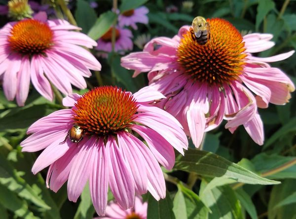 Bumble bee and June beetle Flower Eastern Purple Coneflower Coneflower Pink Color Fragility Plant Petal Day Insect No People Animals In The Wild Purple Animal Wildlife High Angle View Focus On Foreground Nature Pollen Beauty In Nature Outdoors Close-up Bee Bumble Bee June Bug June Beetle Beetle