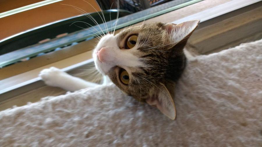 Domestic Cat Animal Themes Indoors  EyeEm Animal Lover EyeEm Market © Peekaboo. The Week On EyeEm Pet Portraits