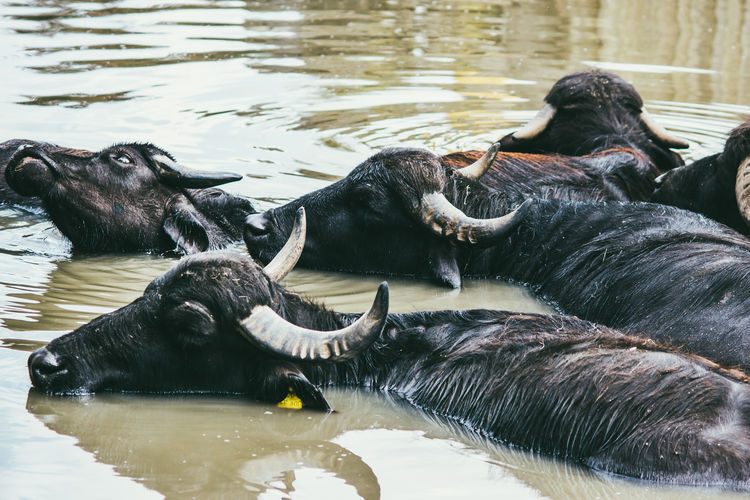 Water buffaloes in water