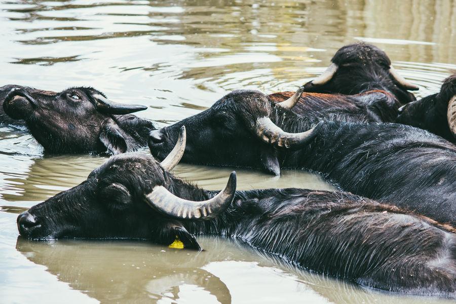 Animals Bathing Buffaloes Dirty Mammal Nature Submerged Water Water Buffalo Waterfront Wildlife