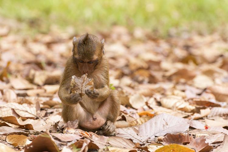 Monkey sitting on dry leaves