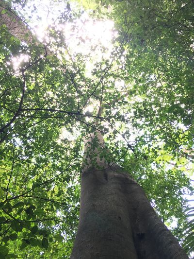 Beauty In Nature Branch Day Green Color Growth Leaf Low Angle View Nature No People Outdoors Sky Sunlight Tree Tree Trunk