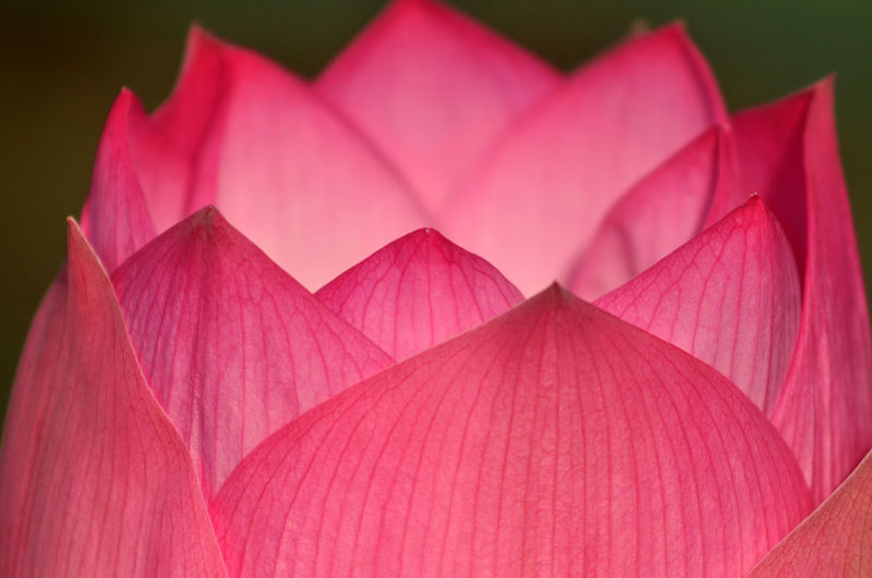 Lotusflower Art