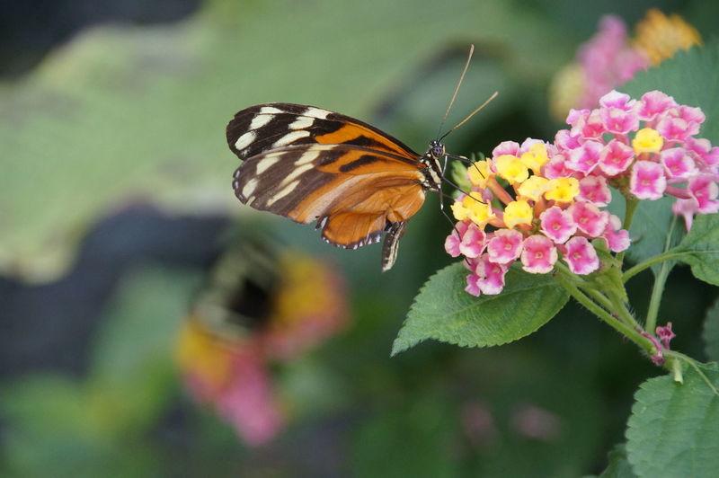 Butterfly on lantana flower