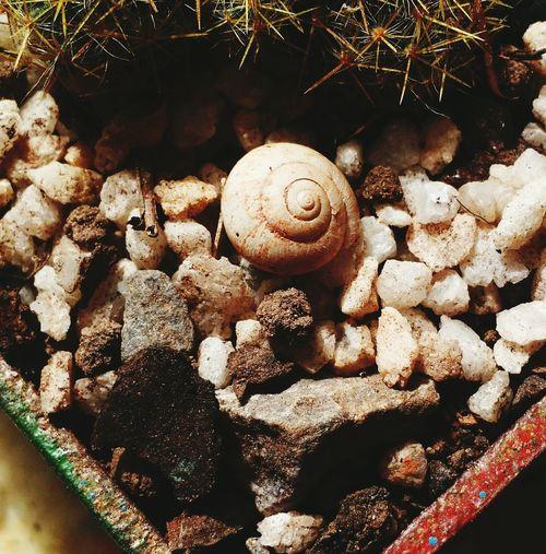 Caracol Daterra Cactus Minerais
