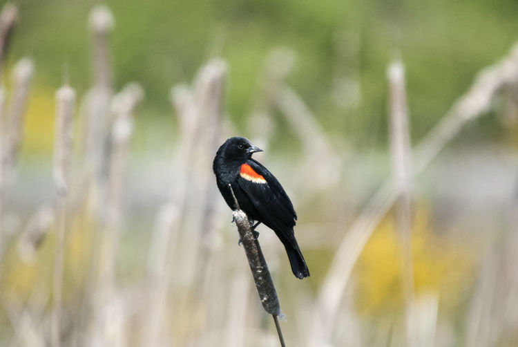 Close-up of black bird perching on leaf
