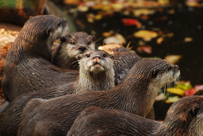 Otter StandOutFromTheCrowd Animal Themes Animals In The Wild Close-up Day Mammal Nature No People Otters Outdoors Togetherness Watching