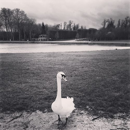 View of swan on water
