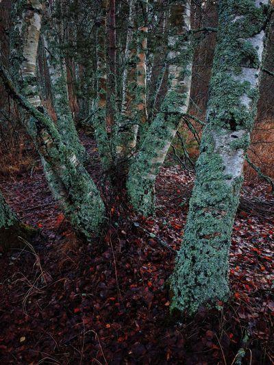 Metsä Forest Beauty In Nature Suomi Finland November Marraskuu Multi Colored Birches Nature Fine Art Photography Landscape Scenics
