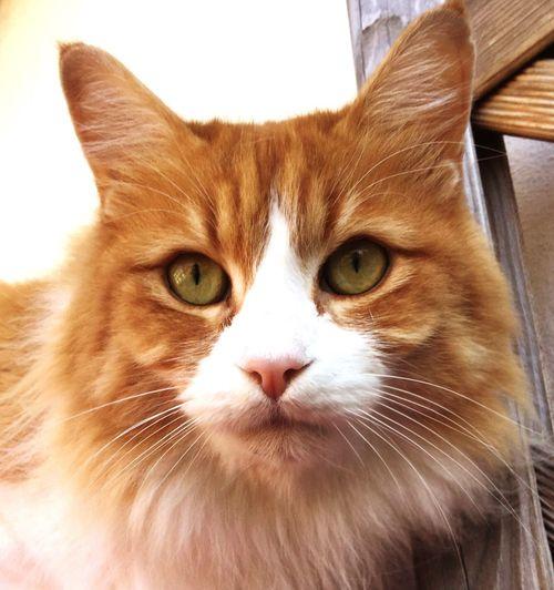 Romeo Redcat Mylove TurkishAngora First Eyeem Photo #the King Eyes Eyes On YOU!! Angora Angoracat