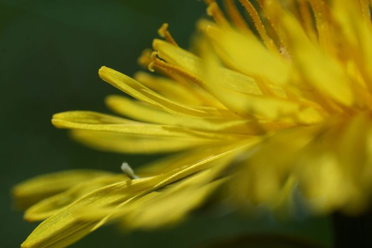 Taraxacum Officinale Garden Photography Macro Photography Dandelion Flower Head Flower Defocused Yellow Springtime Petal Uncultivated Plant Life Wildflower In Bloom