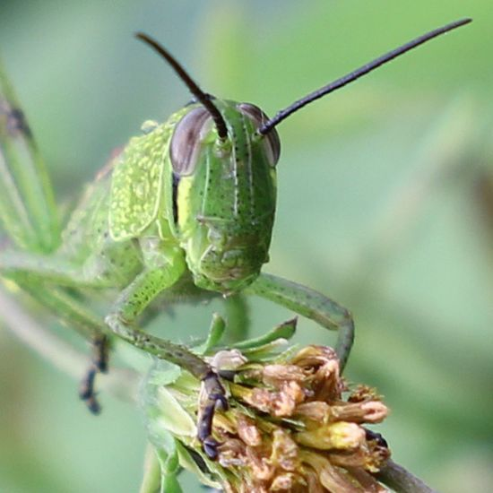 Halooo... Grasshover Belalang Insectagram Insect serangga macroworld_tr macrophotography macro closeup macroexperience
