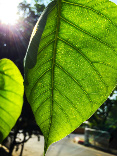 Bodhi green leaf with sunlight photosynthesis Bodhi Tree Bodhitree Photosynthesis Beauty In Nature Bodhi  Bodhi Leaf Close-up Day Freshness Green Color Growth Leaf Lens Flare Nature No People Outdoors Plant Sun Sunlight Tree