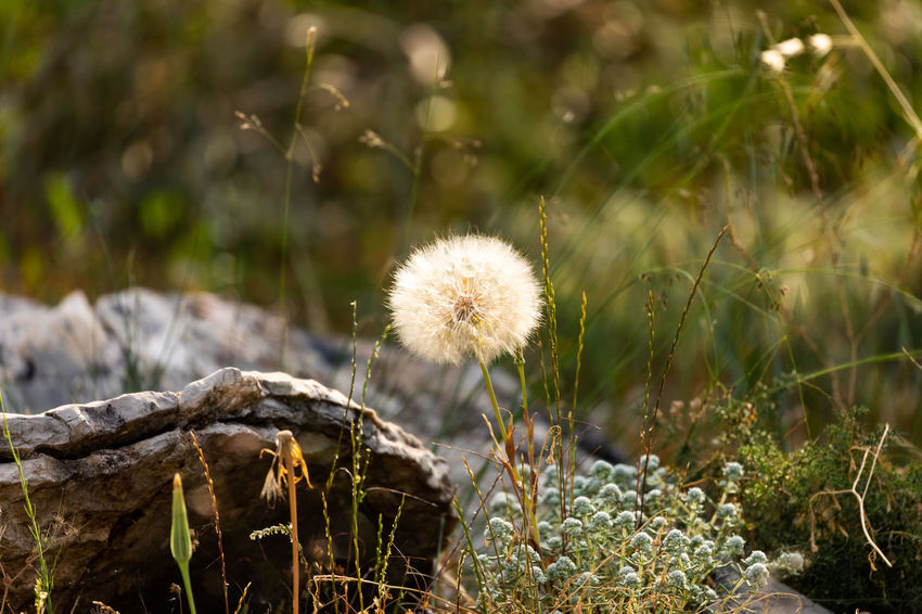 Large dandelion in late afternoon sunlight. Beauty In Nature Afternoon Light Dandelions Late Afternoon Nature Nature Photography Plant Plants Wildflower Dandelion Dandelion Close-up Dandelion Seed Head Late Afternoon Light Meadow Naturephotography Rocks Wilderness