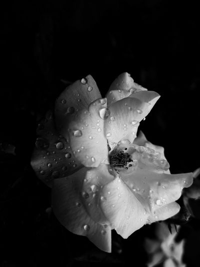 Aiikos Garden Aiiko Inspired Aiikos Rain.drops Blackandwhite Aiikos Black.n.white Drops Flowers Flowerporn Flower Roses White Rose Black And White Bnw Monochrome Aiikos Flowers Aiikos Heaven @aiiko Garden Flower Collection Flower Porn Black & White Black&white Blackandwhite Photography Blackandwhitephotography Black And White Photography